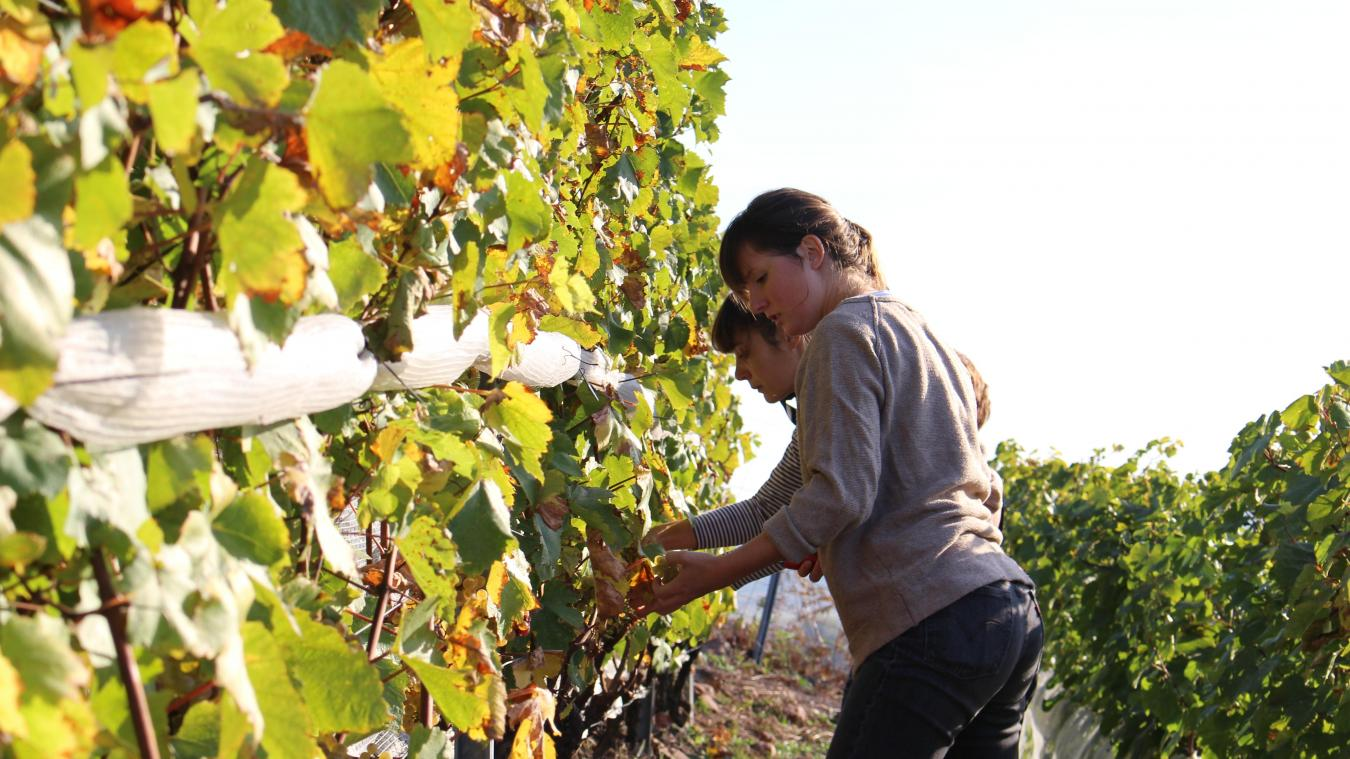 En octobre 2018, les vendanges sur le terril d'Haillicourt étaient lancées. Plus d'une tonne de raisin avait été cueillie.