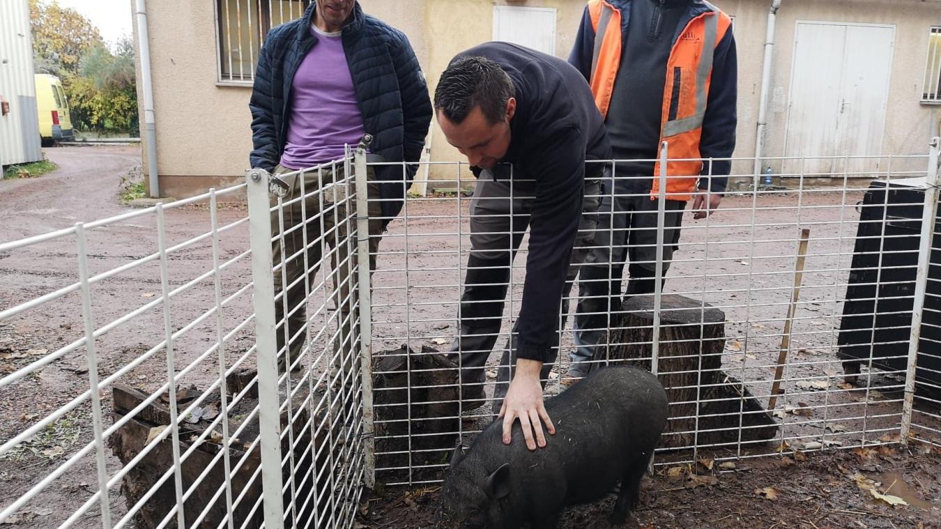 Bully-les-Mines: Groin Groin, le petit cochon asiatique, a trouvé une famille (vidéo)