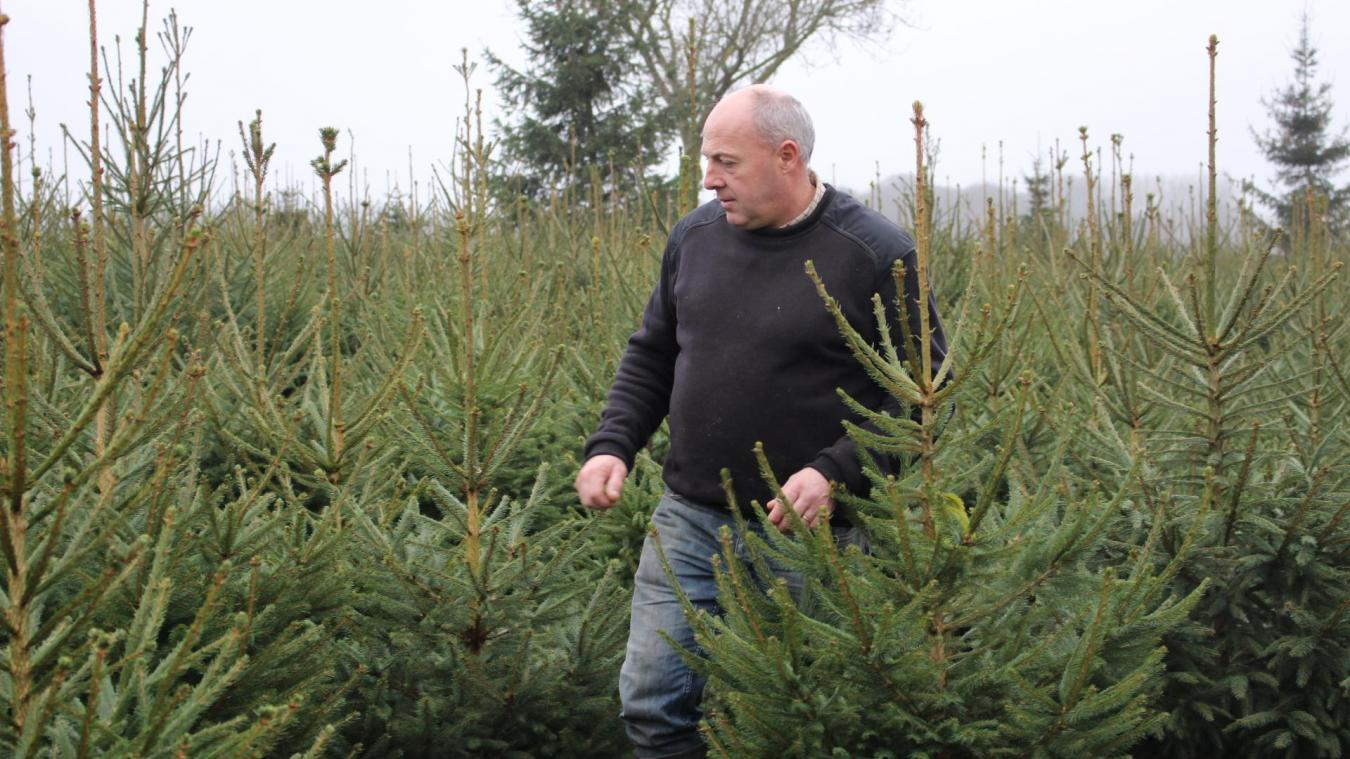 Olivier Loridan plante quatre variétés de sapins dans ses parcs. Parmi ceux-ci, les Normans, grands favoris des particuliers pour noël.