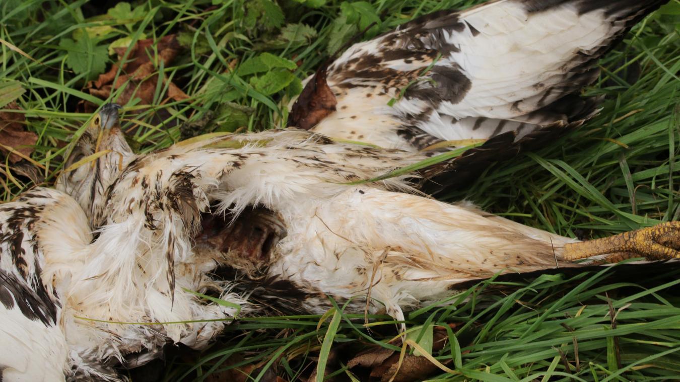 Le rapace décédé à Cuinchy n'est pas mort d'une cause naturelle, mais la radiographie du vétérinaire de Béthune n'a pas détecté de plombs de chasse. La cause du décès reste irrésolue.