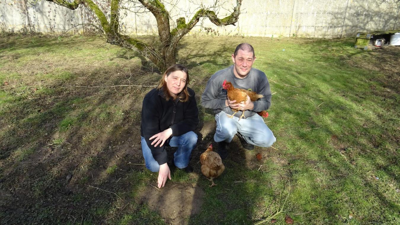 Dans l'Arrageois, les Dupuis ont sauvé des poules de l'abattoir