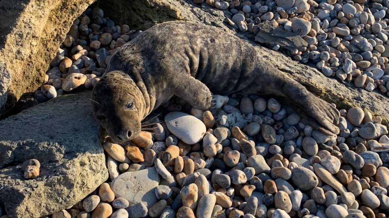 Audresselles : sauvetage d'un phoque sur la plage