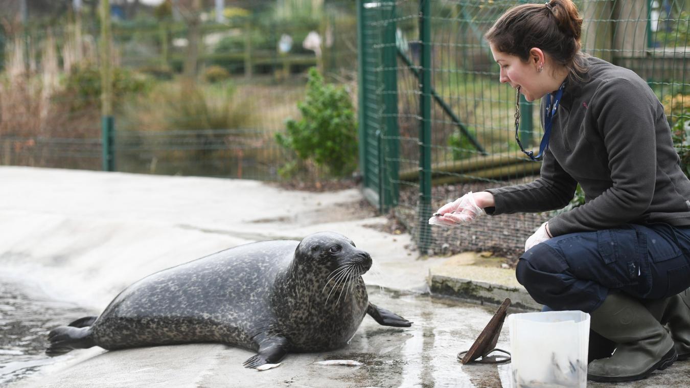 Depuis février, le zoo de Fort-Mardyck accueille une nouvelle pensionnaire  :  Mira, une petite femelle veau marin.