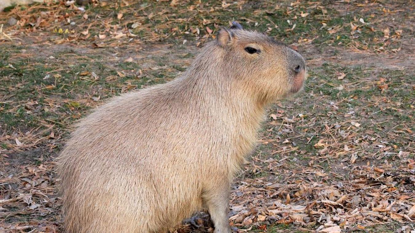 Le capybara est originaire d'Amérique du sud. Depuis quelques jours, l'animal a été repéré à Merville. ©Pixabay