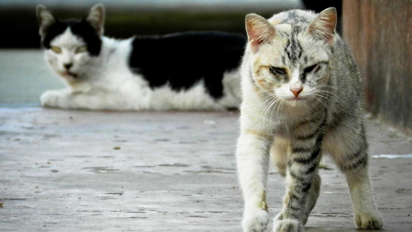 500 à 600 chats ont déjà été stérilisés à Avion sur les trois dernières années.