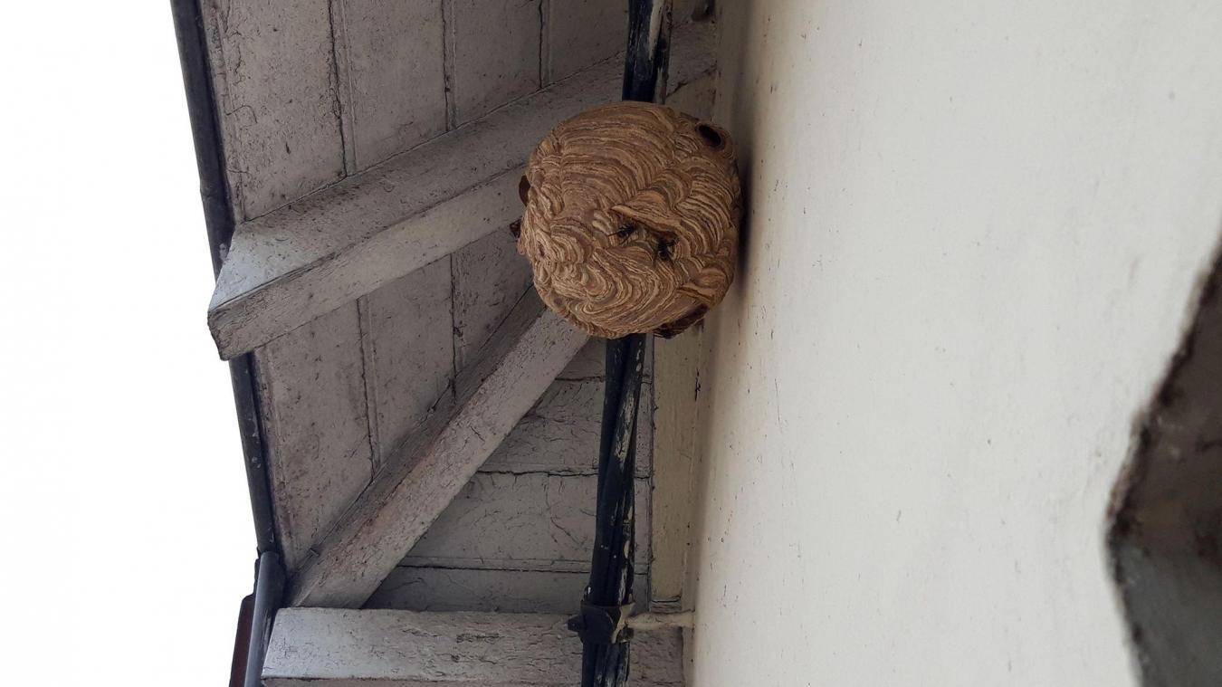 Arras: des frelons asiatiques retirés du toit d'une habitation