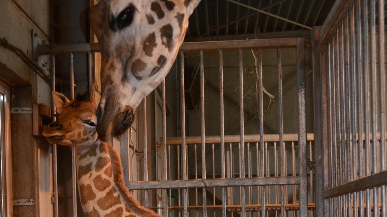 Lundi 15 juillet, à Bellewaerde, la maman, Simone, a donné naissance à une femelle girafe de Rothschild de 60 kilos pour 1m72.