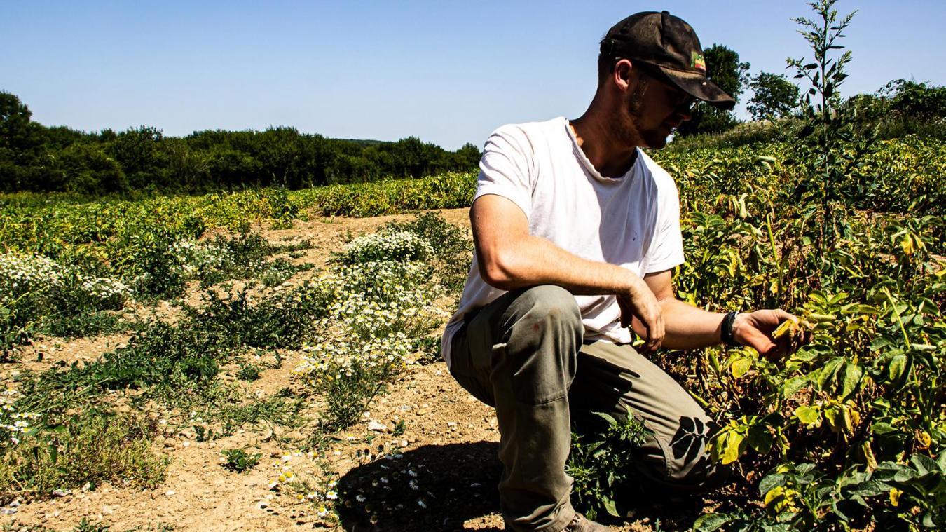 Les plants de pommes de terre souffrent de la chaleur. Les feuilles jaunissent. Les agriculteurs s'inquiètent pour les rendements.