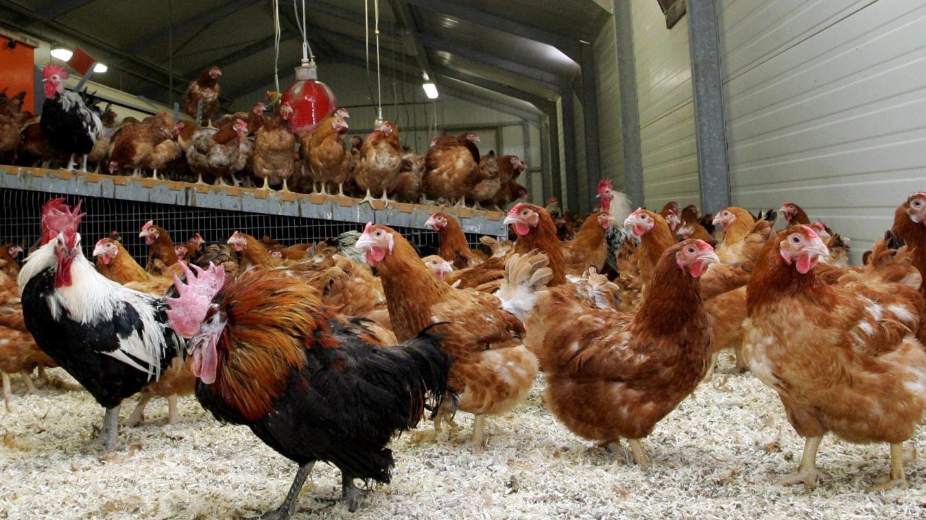 Les pompiers ont pu sauver près de 40 000 poules jeudi 25 juillet à Merville, à Houtkerque et à Winnezeele. Les bêtes souffraient de la canicule.