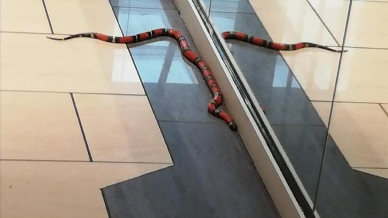 Le serpent faux-corail avait été localisé à l'hôtel Métropole samedi, en fin de journée.
