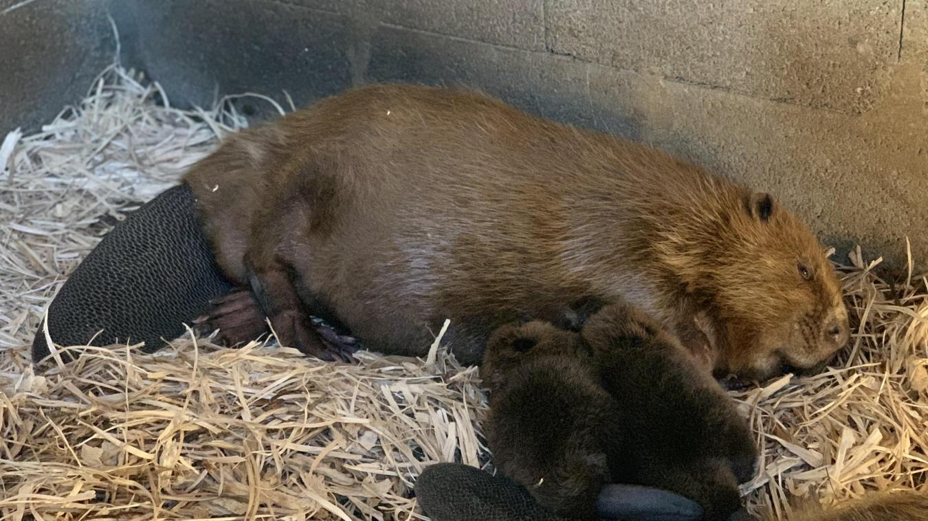 Les deux bébés castor et leur mère. ©Cud
