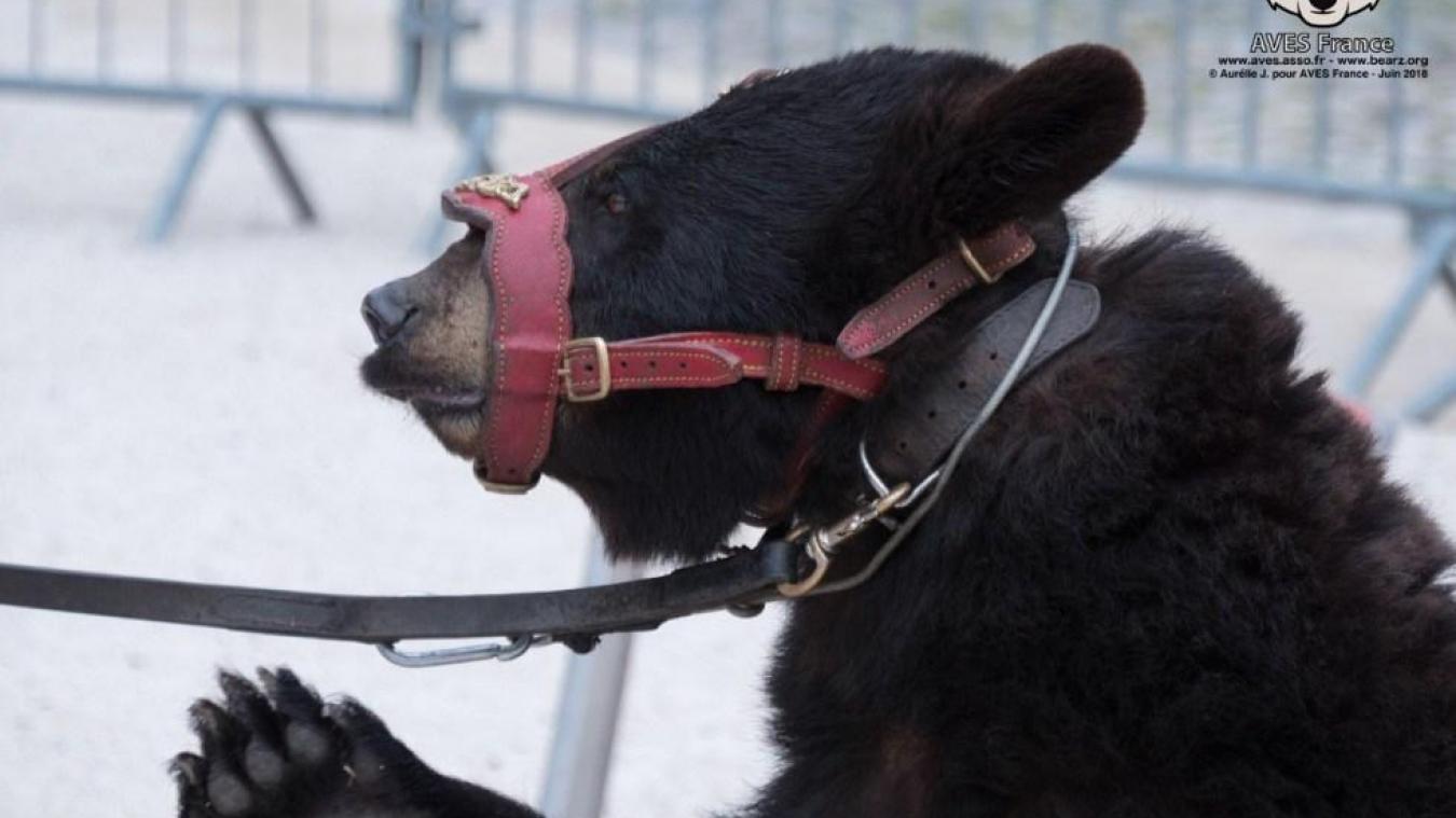 La Municipalité et l'association Watt'en fête se sont engagées à ne plus accueillir d'animaux sauvages lors de la fête médiévale. Photo AVES FRANCE.