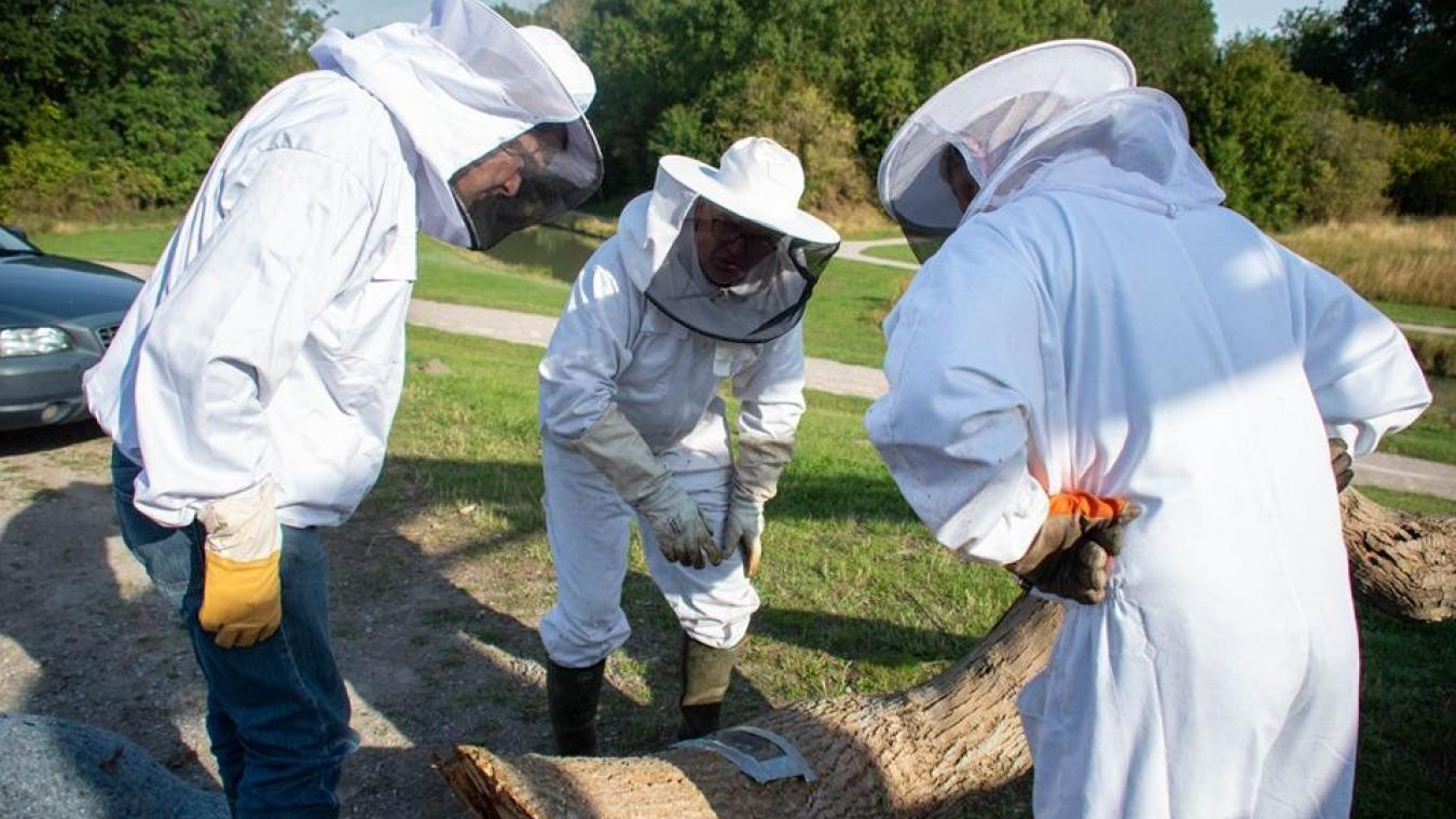 La découpe de l'arbre qui abritait un essaim d'abeilles