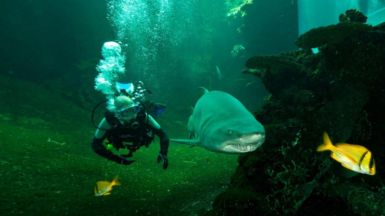 Mémère, le plus vieux requin-taureau de Nausicaá, est décédée