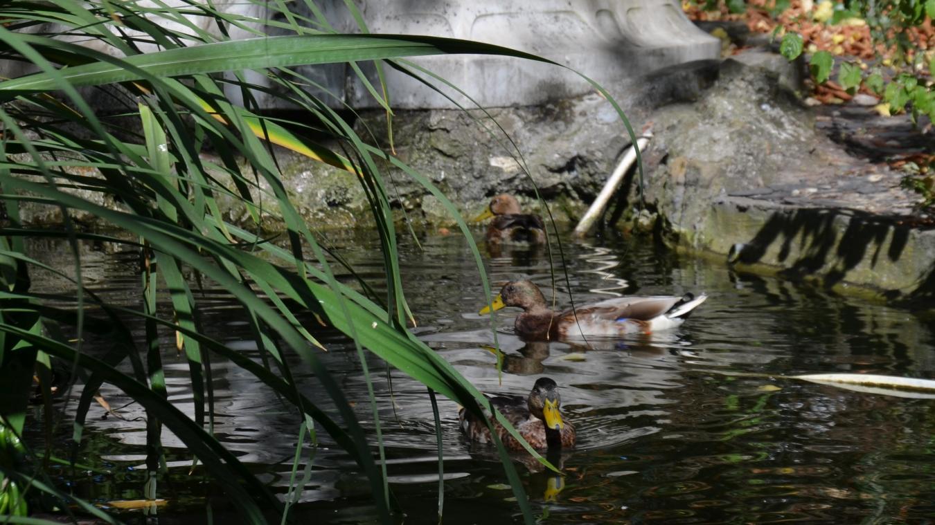 Les canes sont cinq à six dans la mare du parc Malo. Leur progéniture n'a qu'une faible espérance de vie.