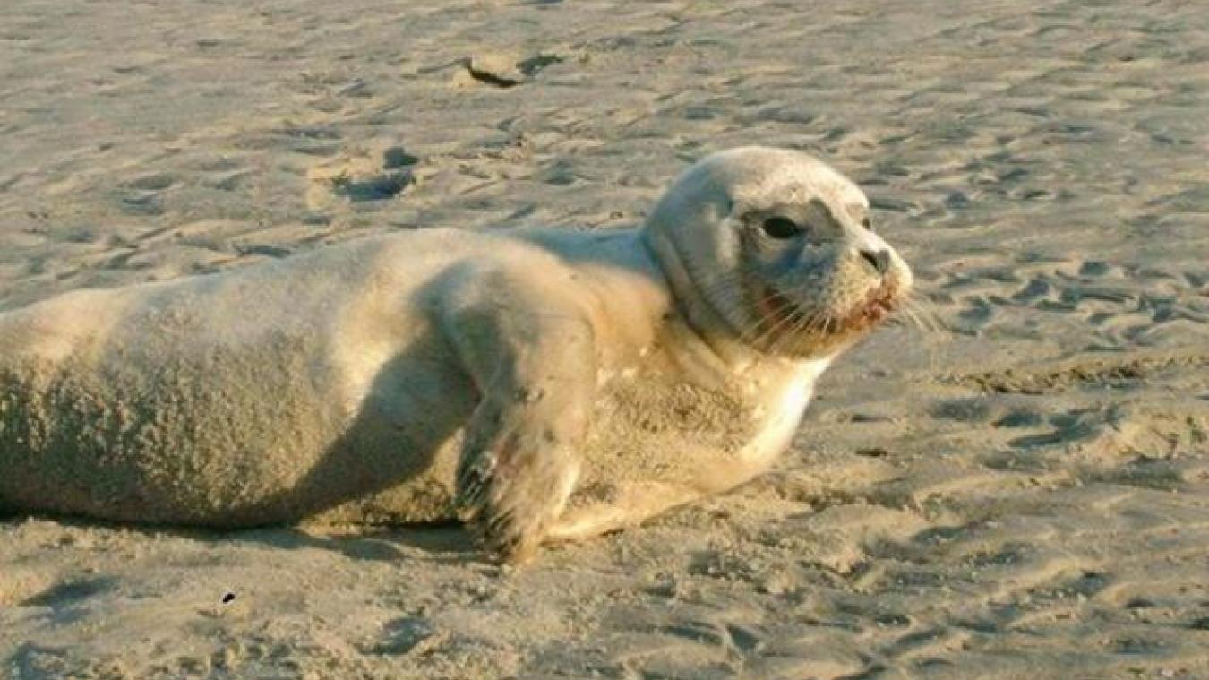 Le phoque frappé par un pêcheur est mort ce samedi midi