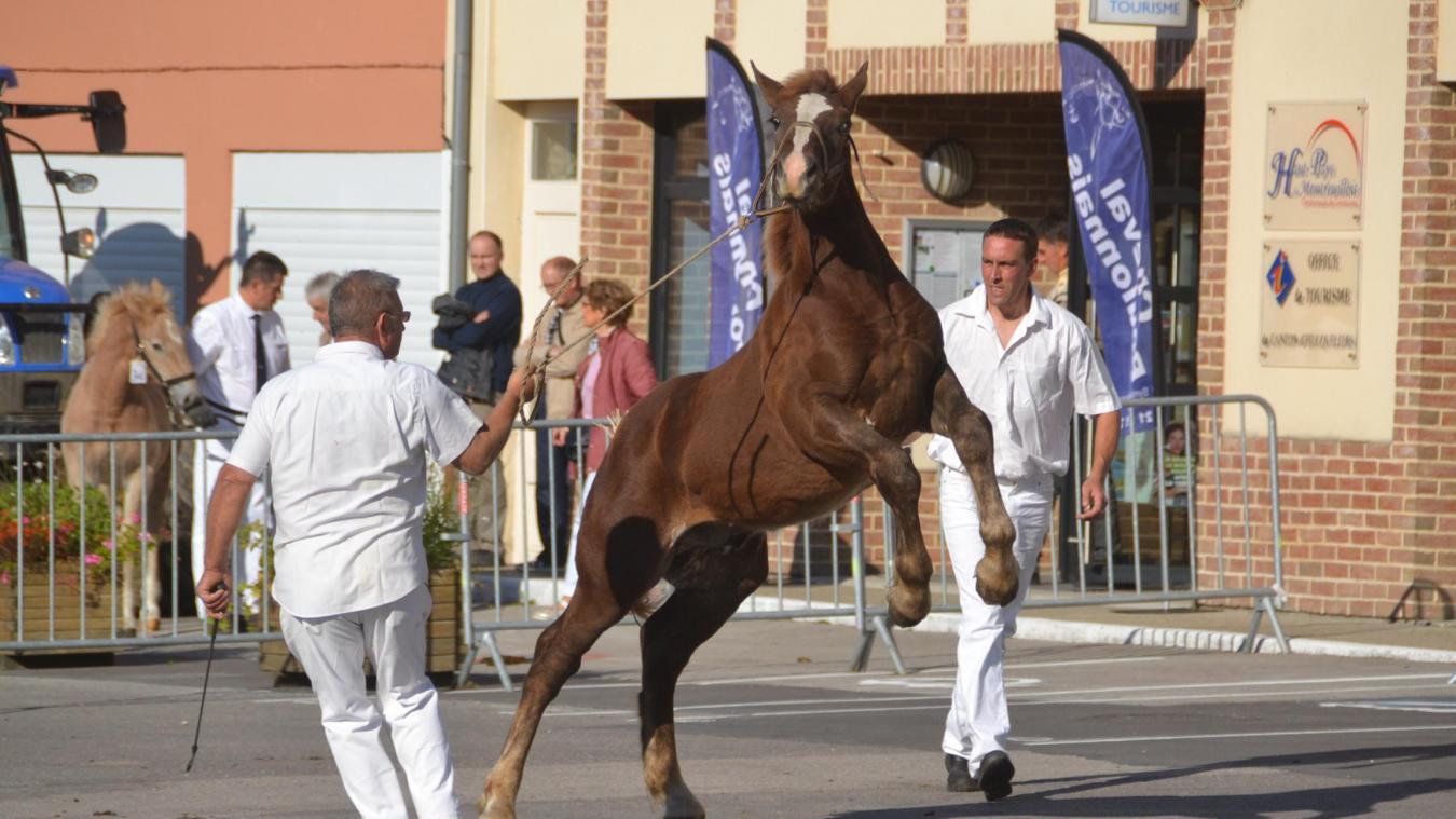Hucqueliers rend un vibrant hommage à cette race équine régionale grâce aux éleveurs de la région qui vouent un passion pour ces chevaux.
