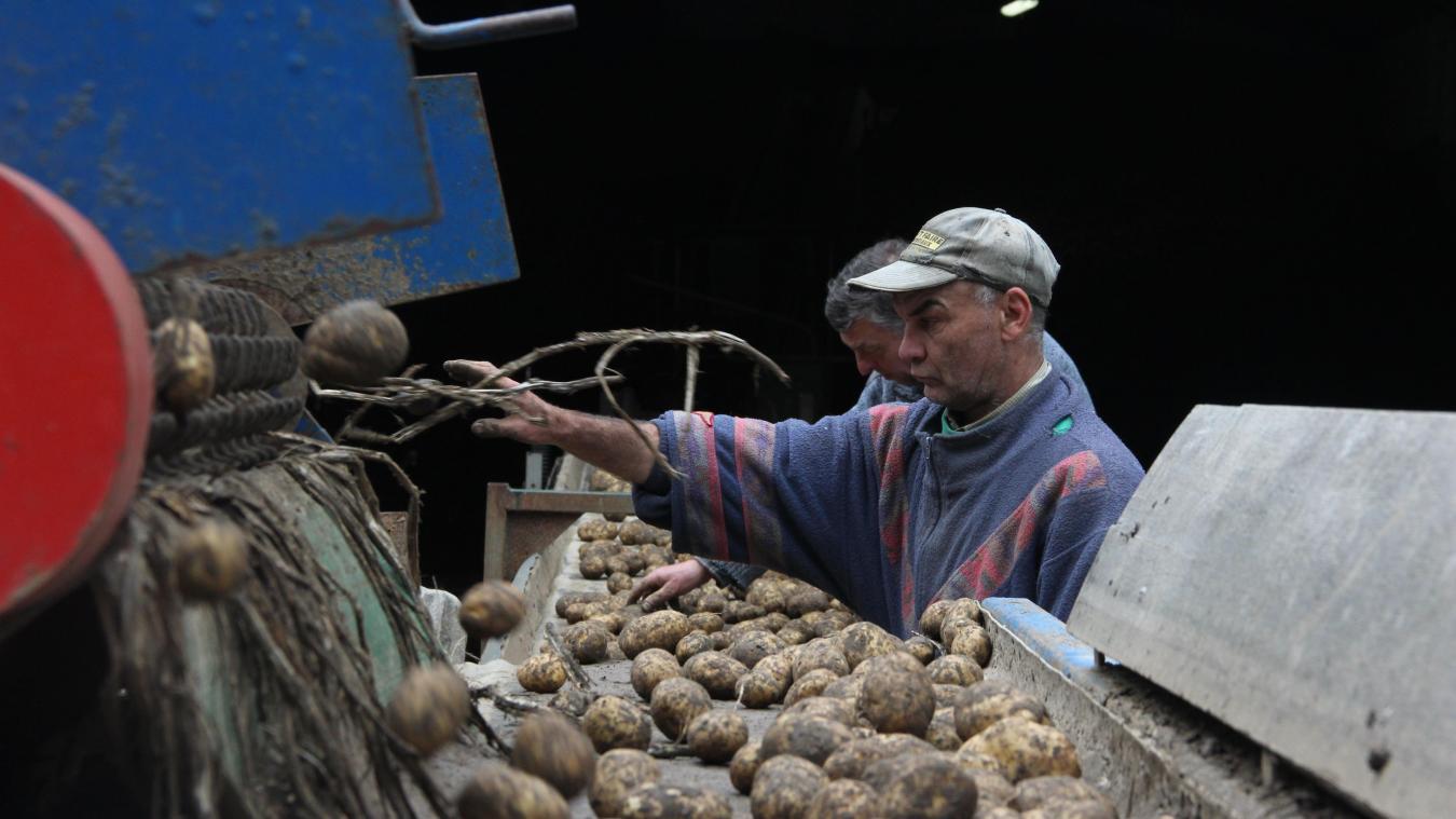 La récolte des patates s'annonce bonne, malgré le retard