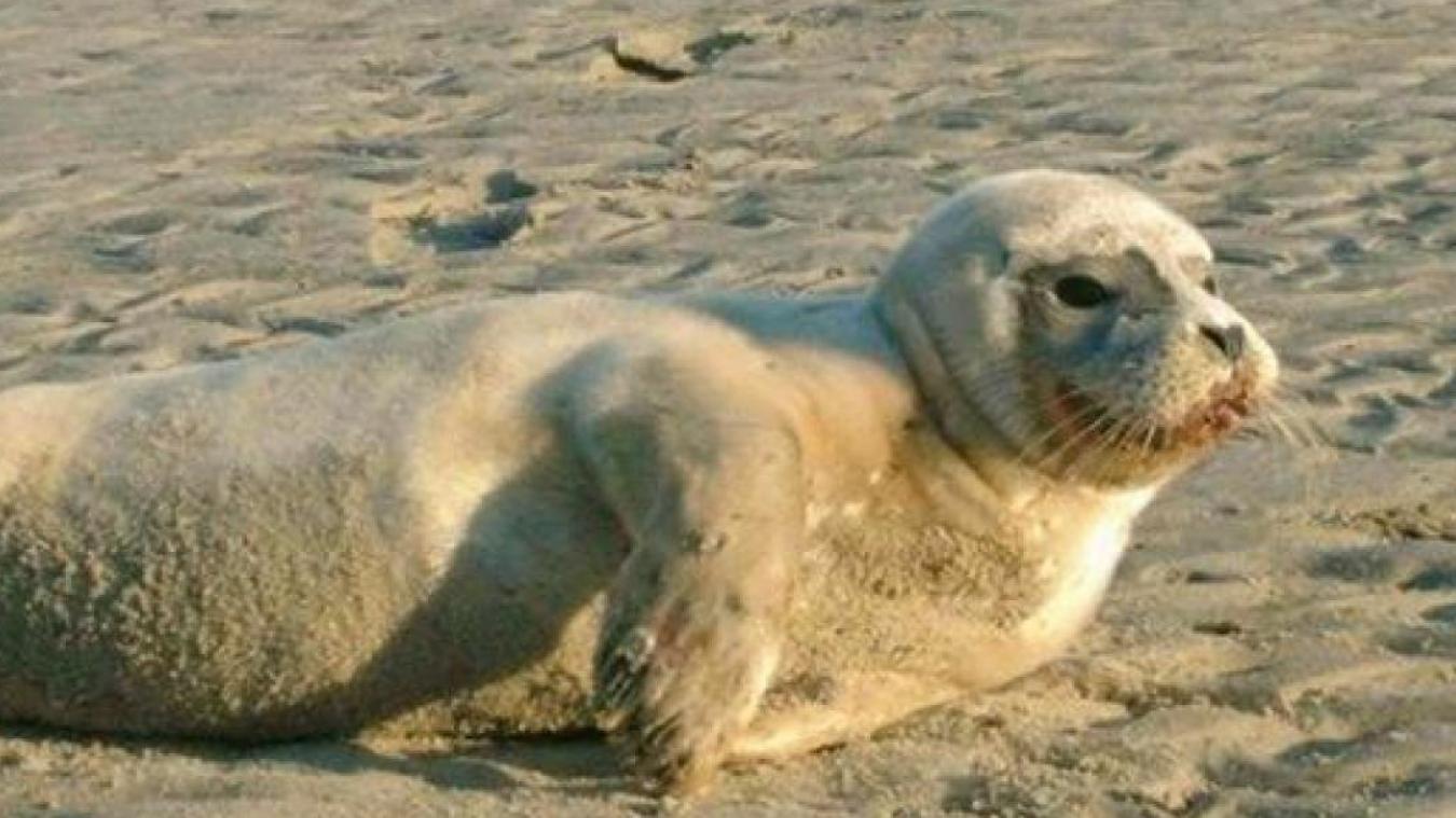 Le jeune phoque avait subi les coups d'un pêcheur sur la plage de Malo. Des témoins s'étaient interposés.