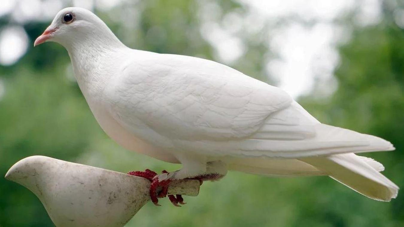 Coudekerque-Branche : prison avec sursis pour le tueur de colombes - Le Phare dunkerquois