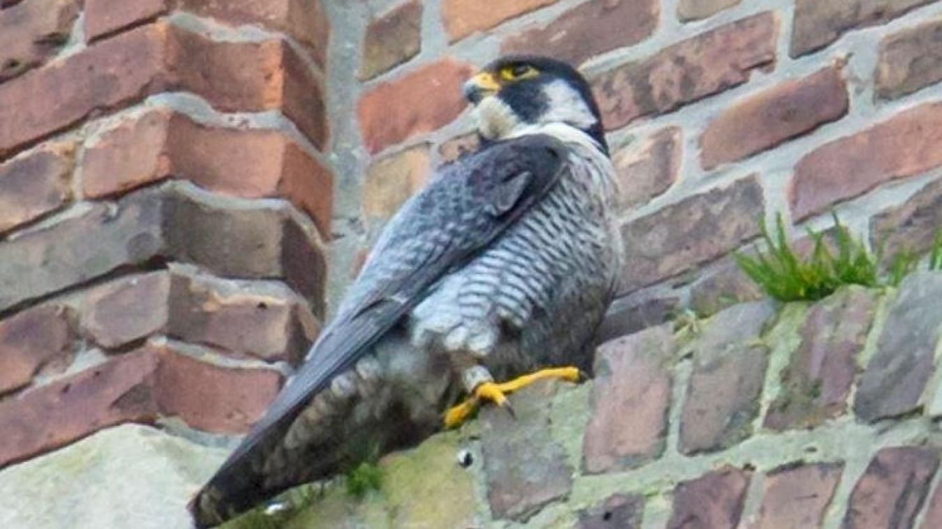 Un nichoir a été aménagé pour fixer les faucons, présents depuis plusieurs années. (Crédit photo : Hervé Touzart)