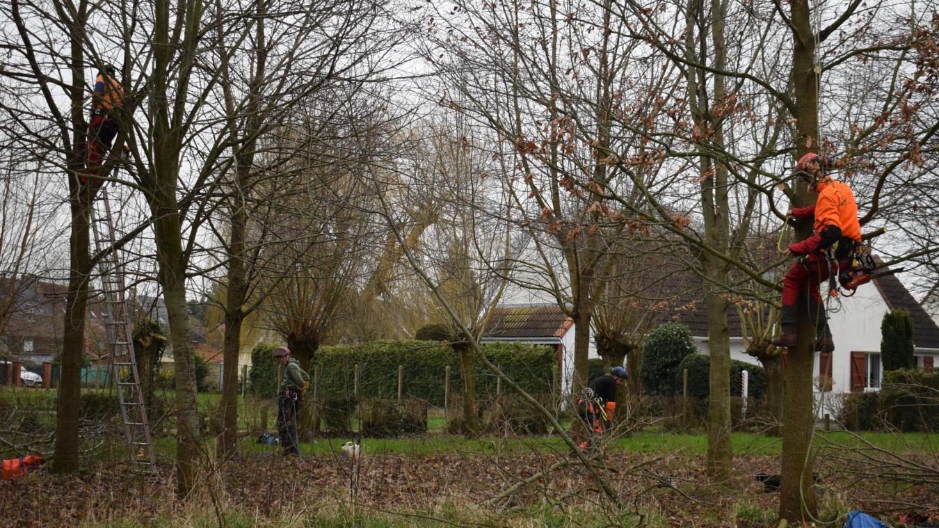 Une dizaine de lycéens de Coulogne élaguent les arbres des espaces verts publics de Wormhout.