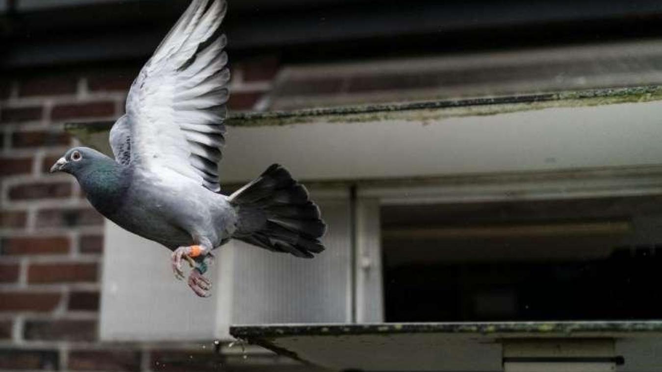 Le pigeon de Bernard aurait pu être vendu jusqu'à 50 000 euros. Illustration