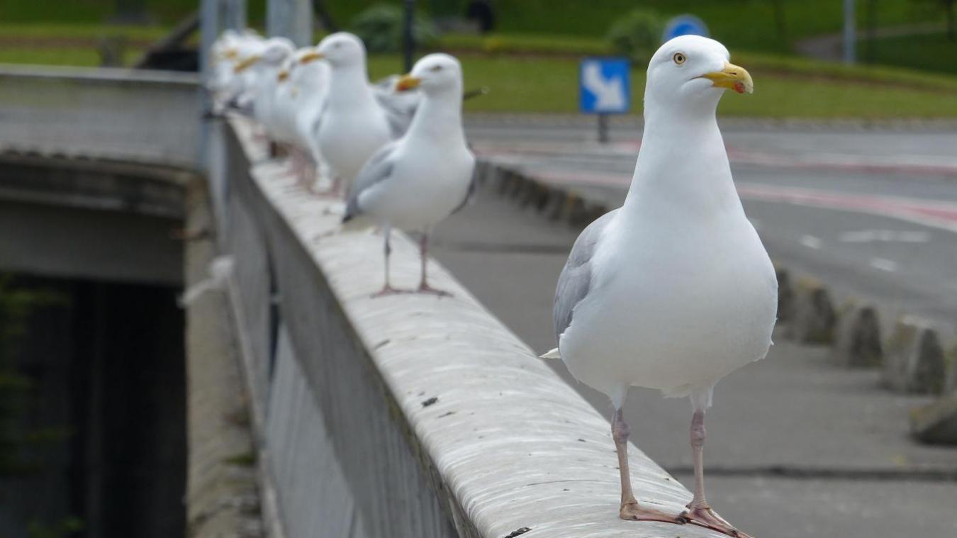 Il est totalement interdit par la loi, sous peine d'amende, de détruire un nid de goéland. L'objectif est d'inciter les goélands à quitter le centre-ville pour retrouver leur habitat naturel dans les friches et les falaises en bord de mer.