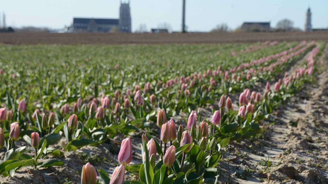 Cette année, les tulipes ne pourront être cueillies.