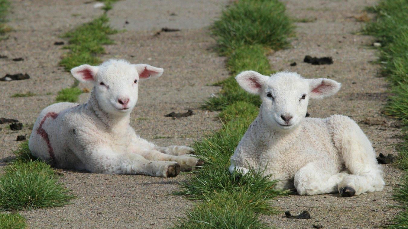 Cette année, les deux mois autour de Pâques devaient constituer 80 % des ventes annuelles des éleveurs ovins.