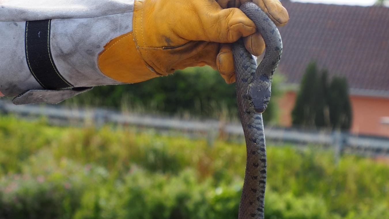 Les pompiers d'Audruicq, équipés, sont intervenus sur les lieux pour récupérer le serpent et le remettre en liberté loin des habitations.