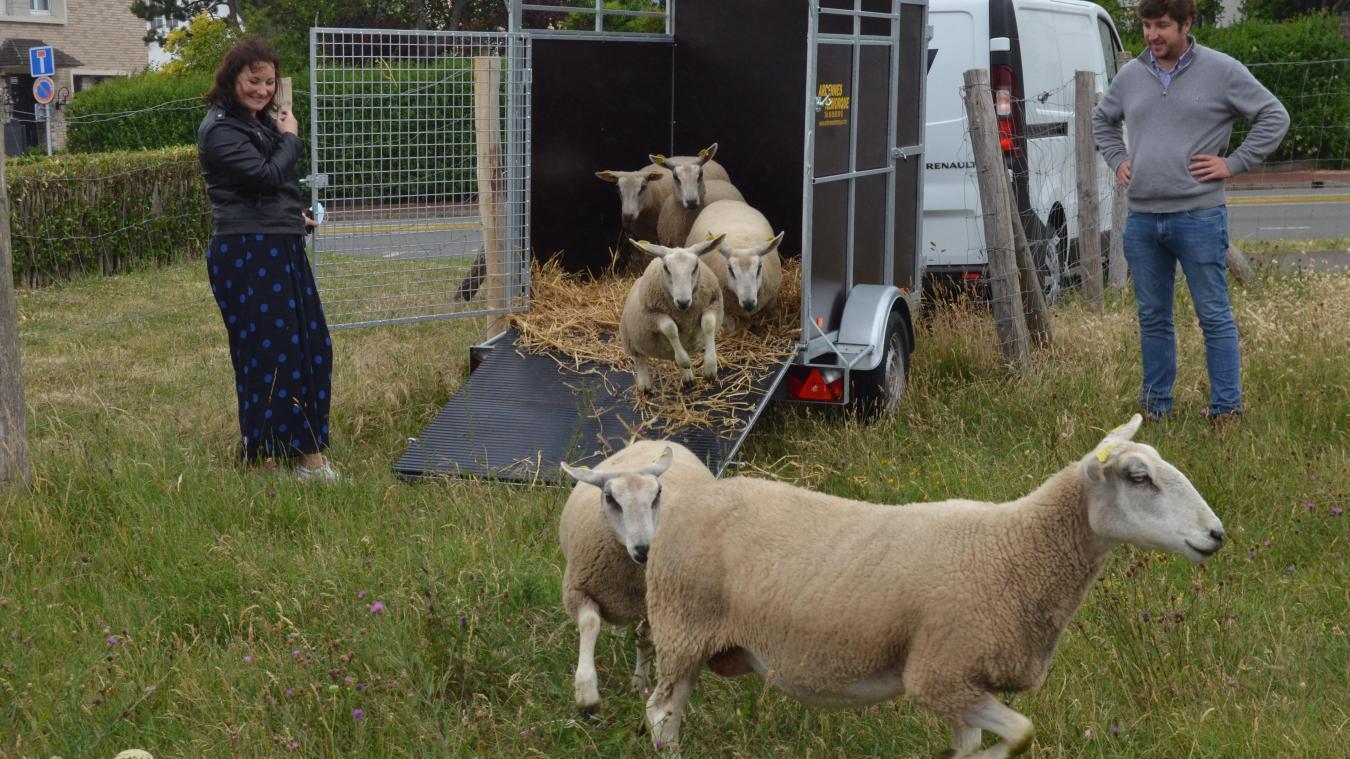 Calais : après le vol de deux moutons à la plage, l'éleveur a retiré les quatre qui restaient