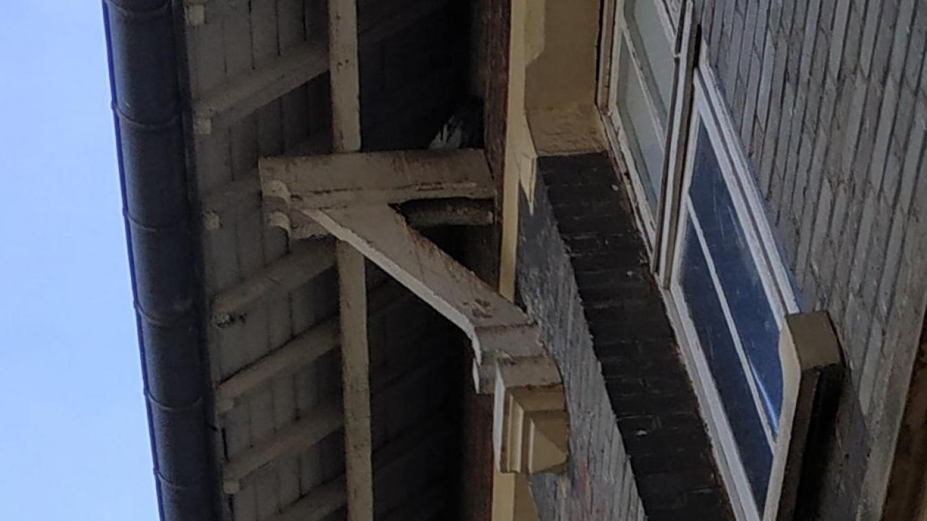 Plus d'une cinquantaine de pigeons ont élus domicile dans les sous pente du CAJ Montgolfier.