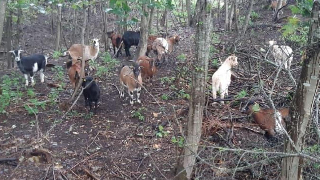 Une trentaine de chèvres pâturent dans les dunes afin de préserver les lieux. Deux plaintes, une de l'éleveur, l'autre des gardes du littoral, ont été déposées auprès de la police et de la gendarmerie.