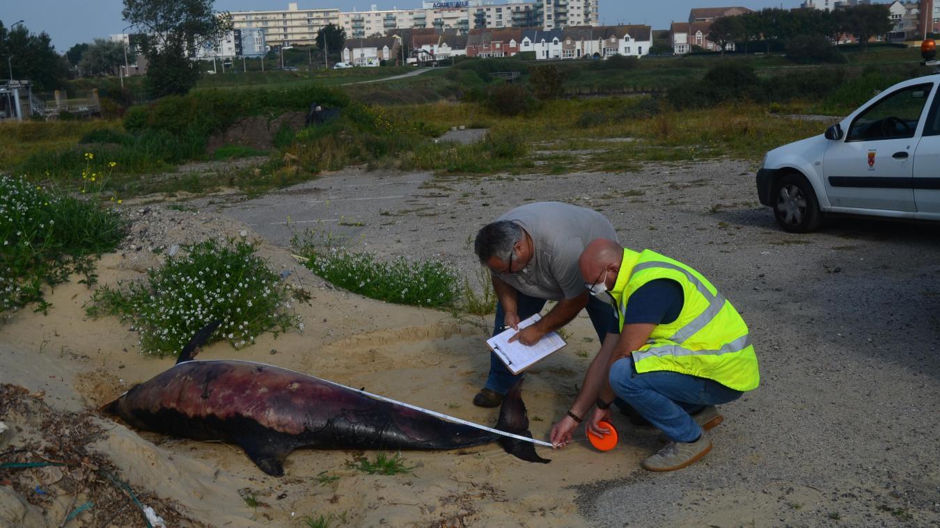 Les informations sur le dauphin commun ont été envoyées au centre de recherche sur les mammifères marins de la Rochelle.