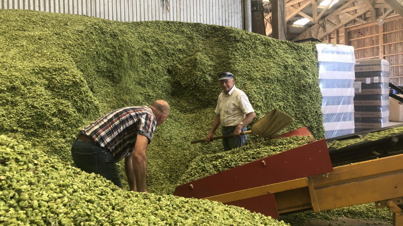 En Flandre, on connaît la bière dans tous ses états : du produit brut, le houblon (notre photo) au breuvage. La brasserie centenaire, 3 Monts, cotoyant des micro-brasseries ou encore la brasserie du Pays flamand qui ne cesse de se développer autour de l'Anosteke.