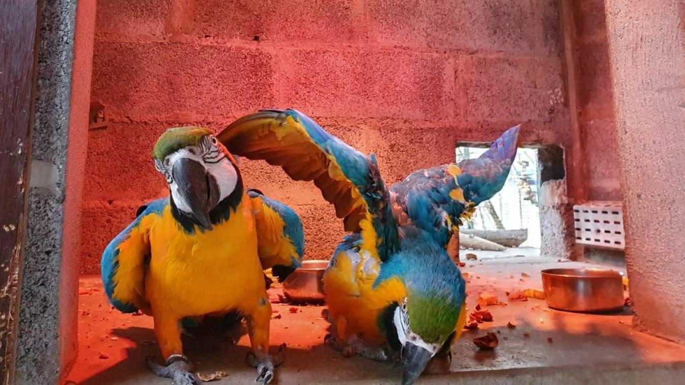 Les perroquets profitent de la lumière chauffante.