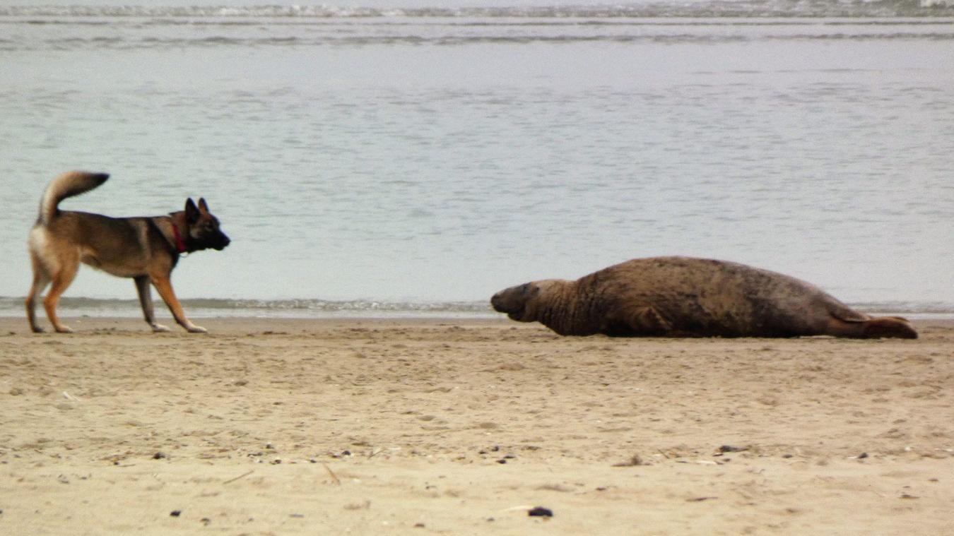 Ce lundi 22 février, aux alentours de 8h, Pépère a été dérangé par un chien alors qu'il se reposait sur le sable.