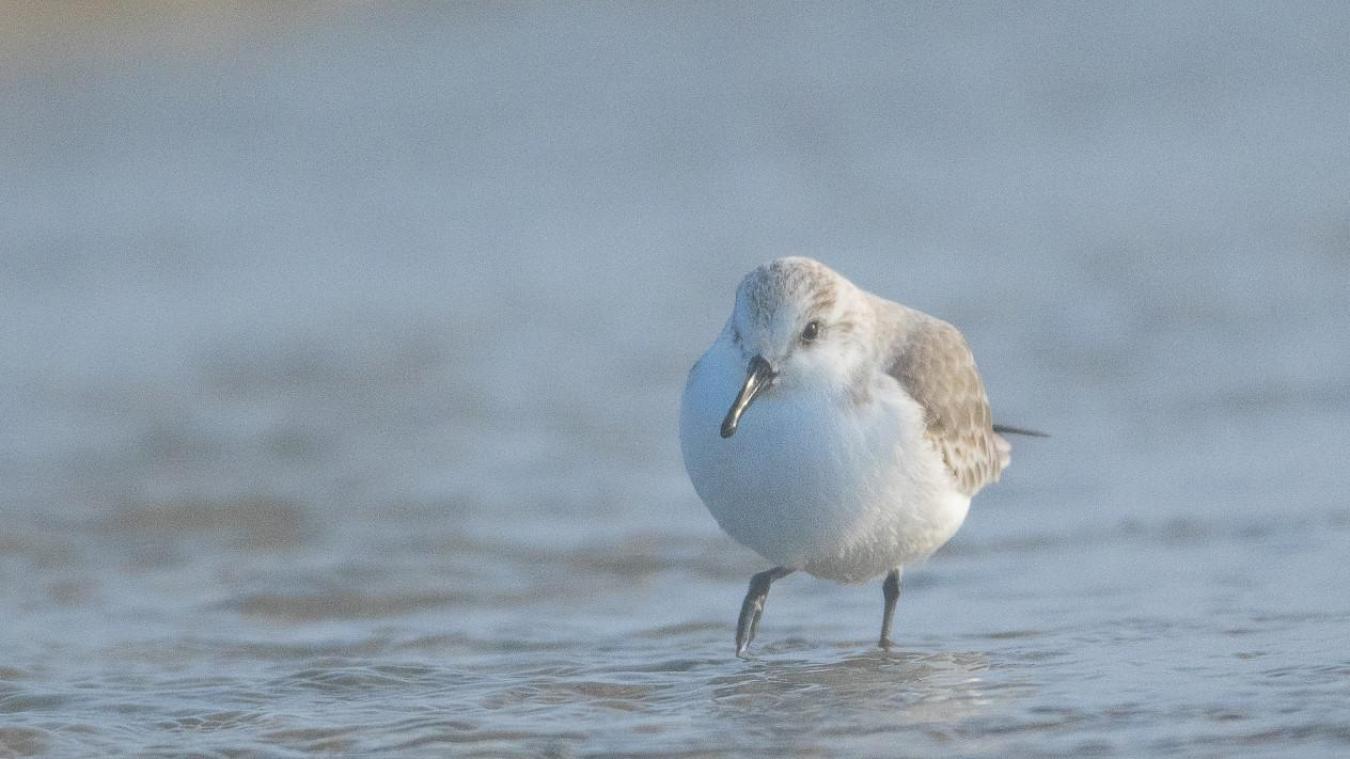 Le bécasseau sanderling en action sur nos plages du Touquet.