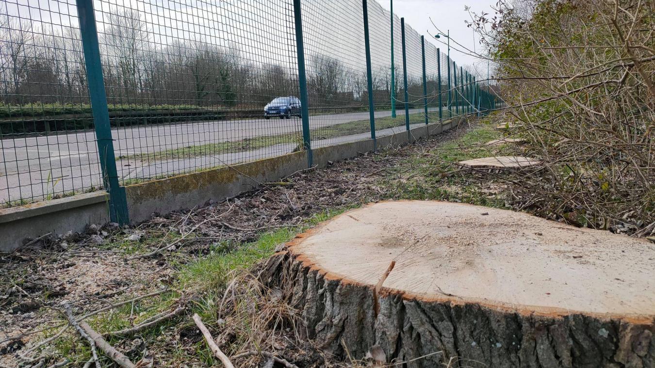 Les arbres, plantés en 1985 à la construction du Stade du Moulin, étaient malades et abîmés.