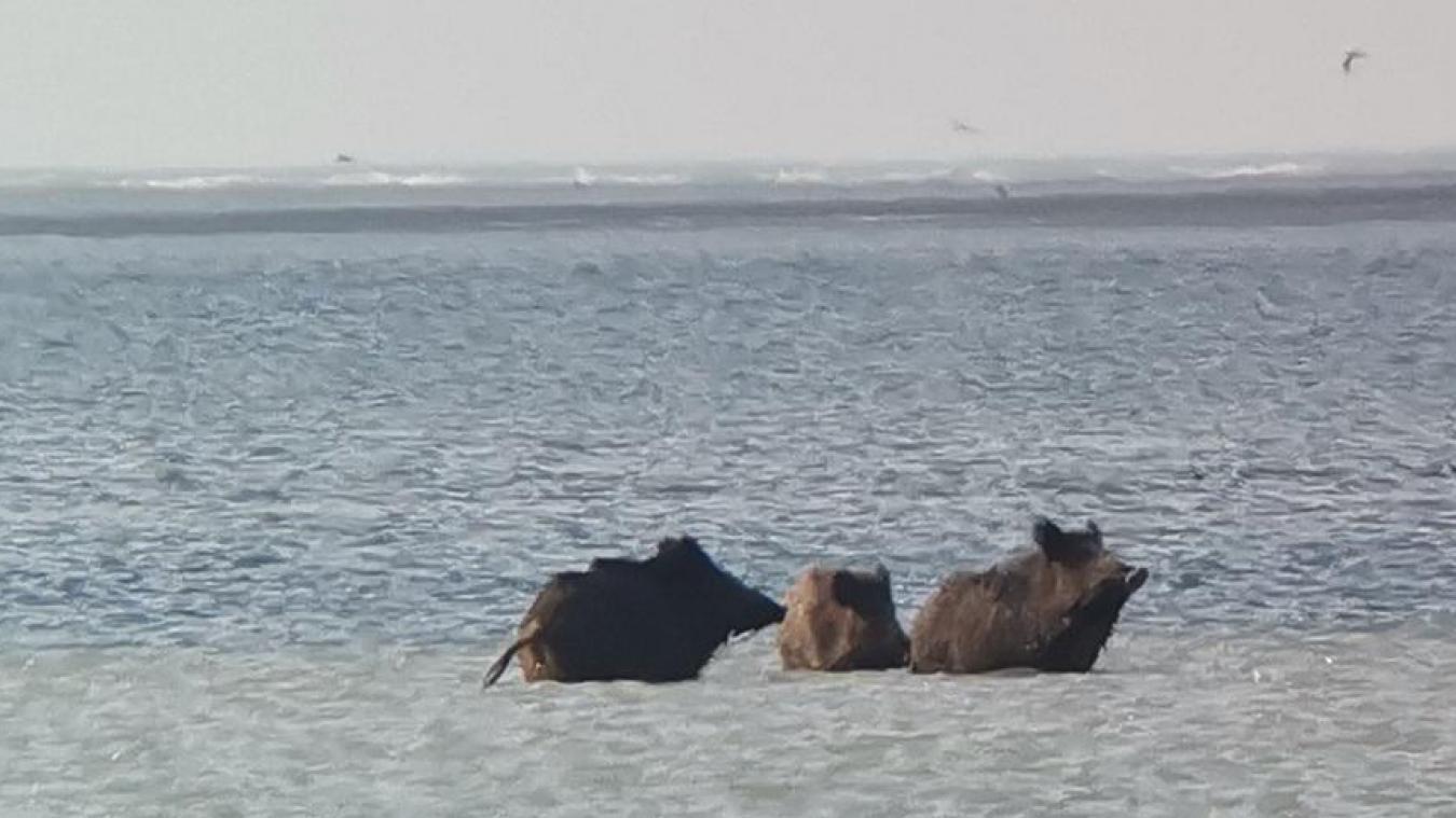 C'est dans les vaguelettes de la Manche que les bêtes noires ont choisi de patauger pour échapper à la daube qui leur faisait les yeux doux.