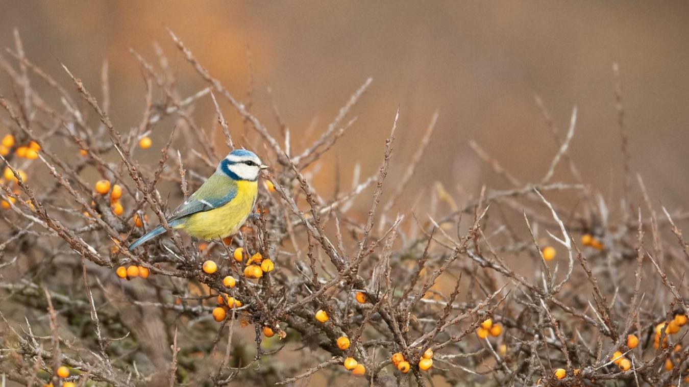 La mésange bleue, à l'affût, sur sa branche d'argousier.