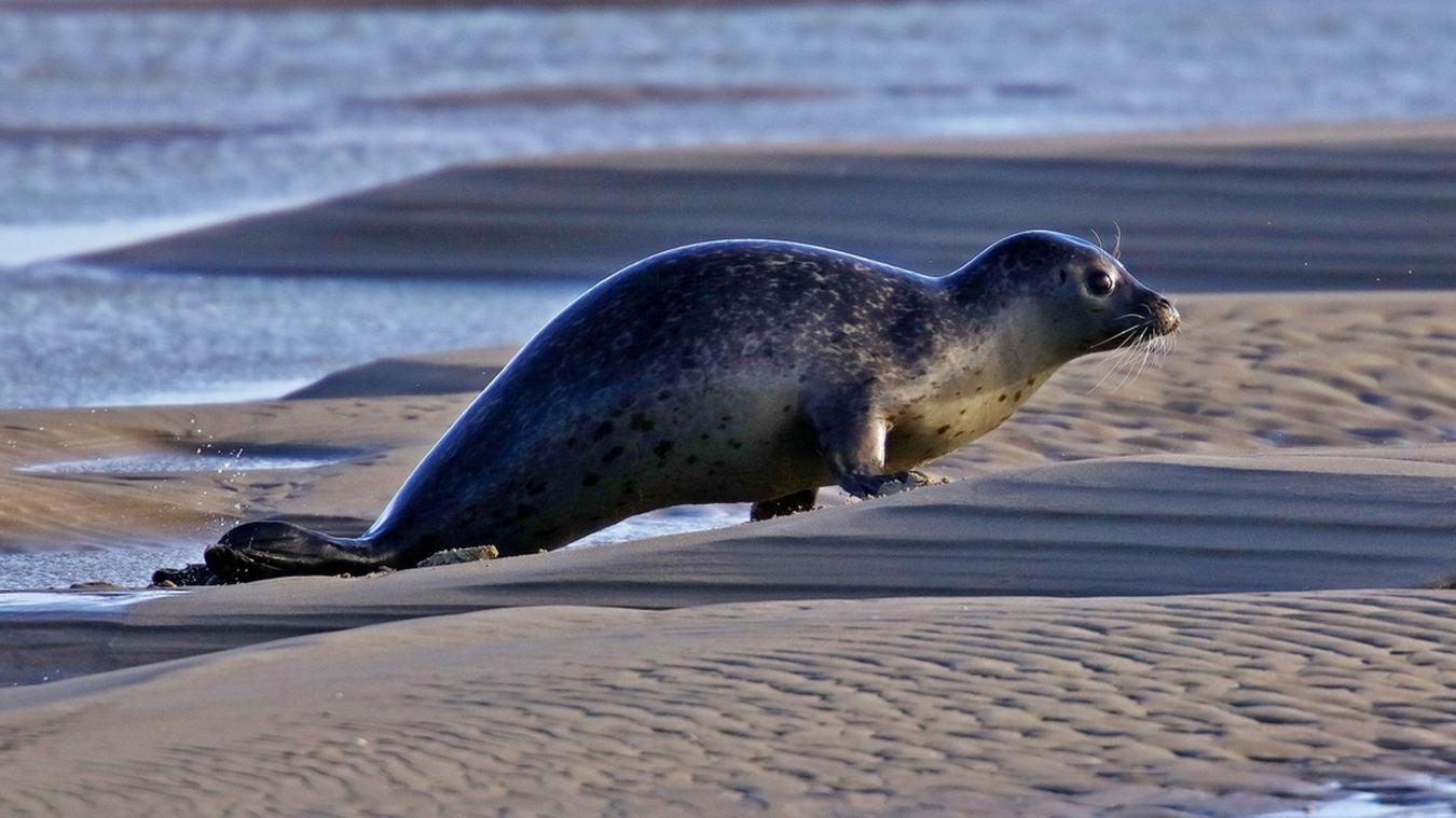 Les phoques sur la côte d'Opale, une remise en cause nécessaire
