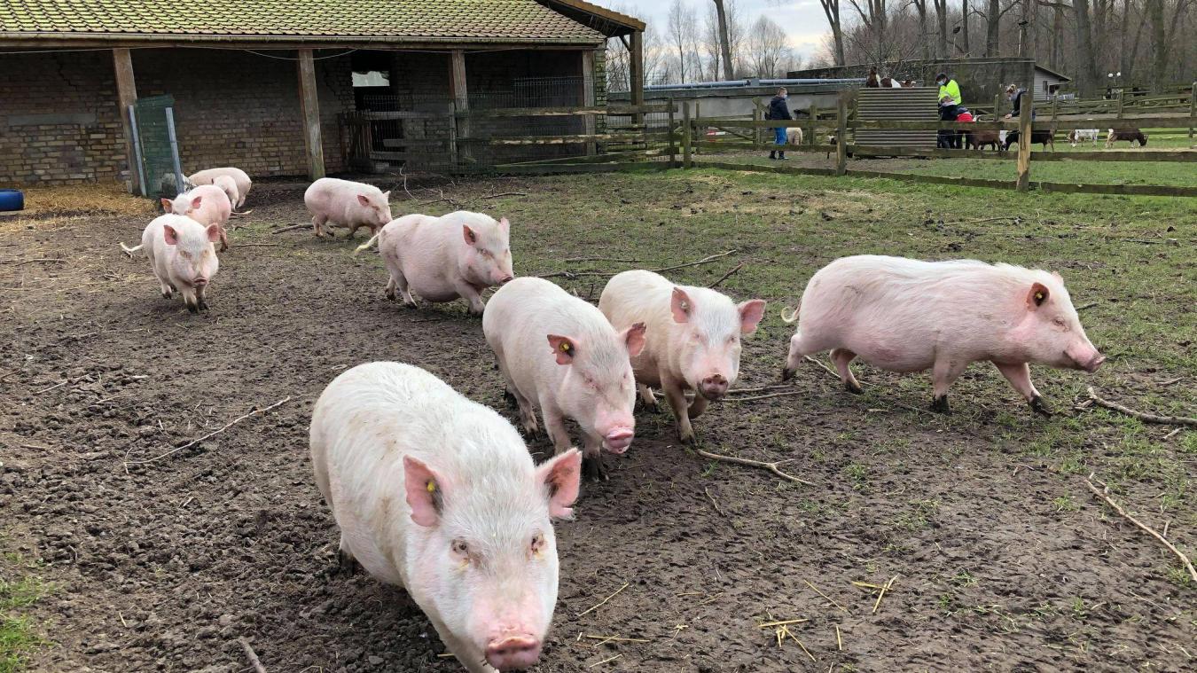 Les dix cochonnes sont à retrouver à la ferme Vernaelde de Coudekerque-Branche.
