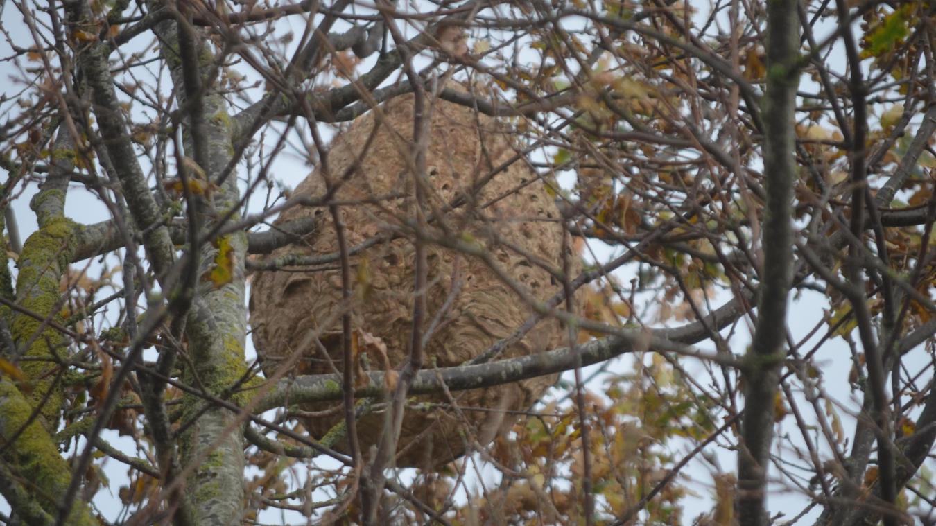 Une seule femelle est à l'origine d'une colonie qui va attaquer les vergers et les ruchers puisque le frelon asiatique est friand de fruits et d'abeilles.