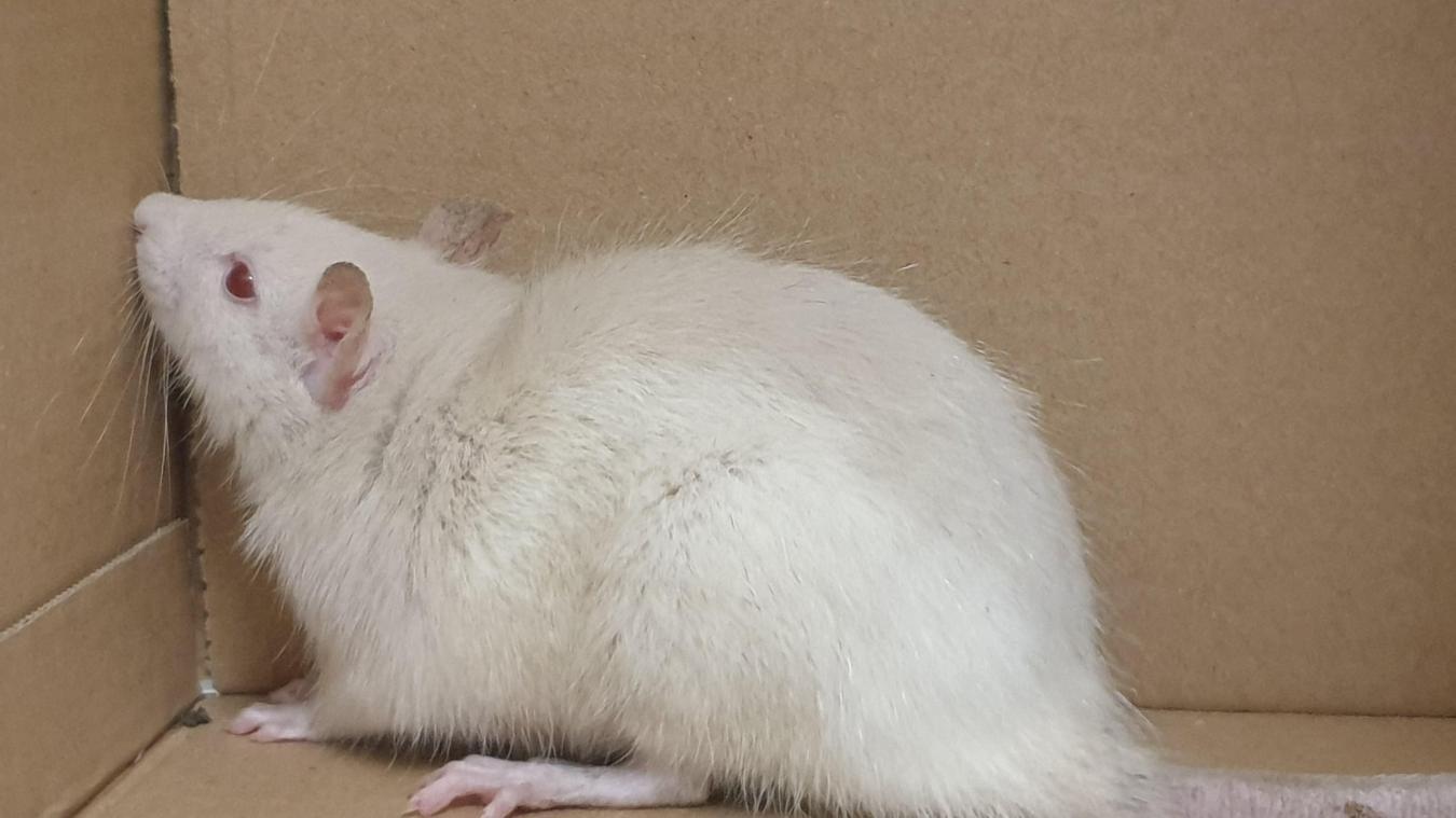 Ce rat blanc qui fait partie des Nouveaux animaux de compagnie a été trouvé rue du Bac à Étaples-sur-Mer.