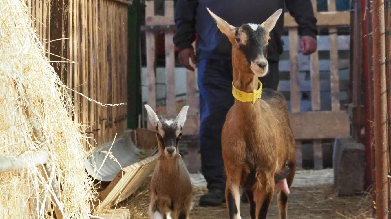 Rencontre avec Marie-Ange, éleveuse de chèvres laitières à Audruicq
