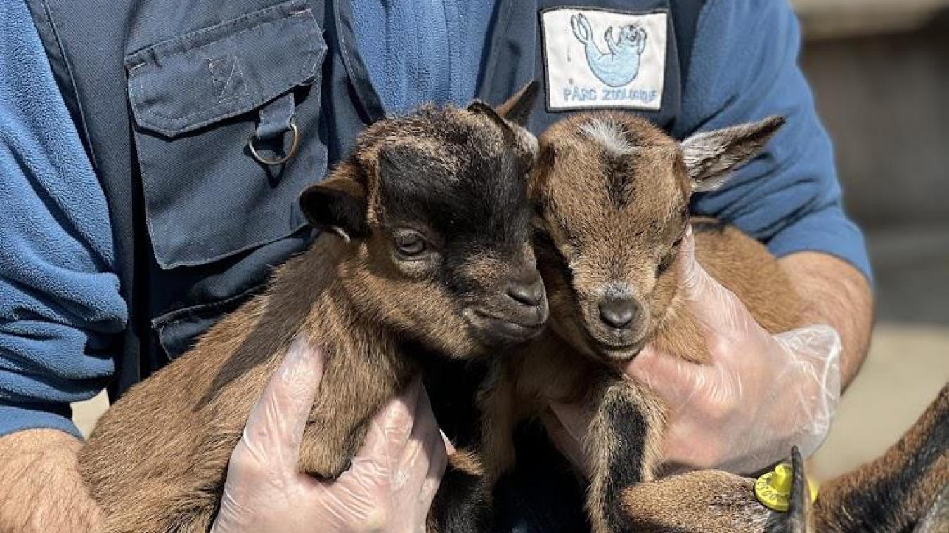 Les deux chevreaux, le mâle à tête noire et la femelle à tête marron, sont nés le 2 mars © CUD