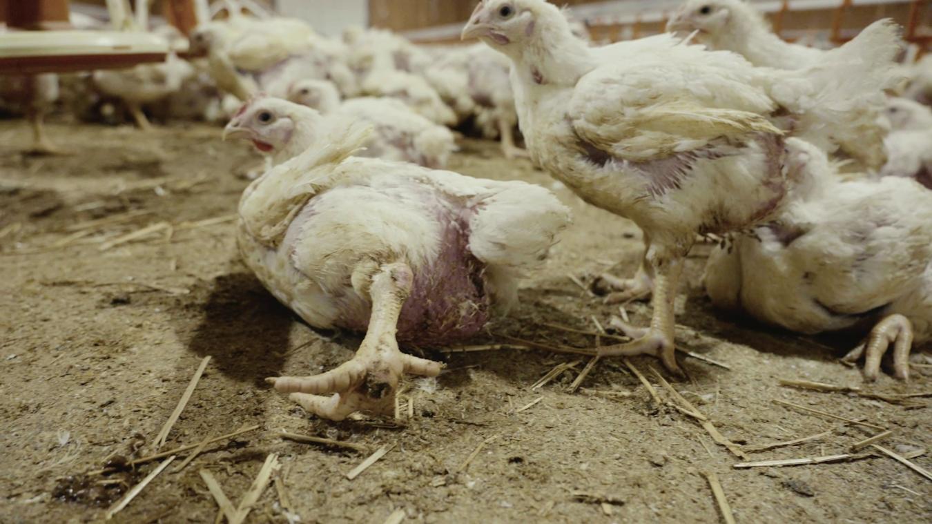 Certains poulets ne peuvent plus tenir debout, ne soutenant pas leur propre poids.