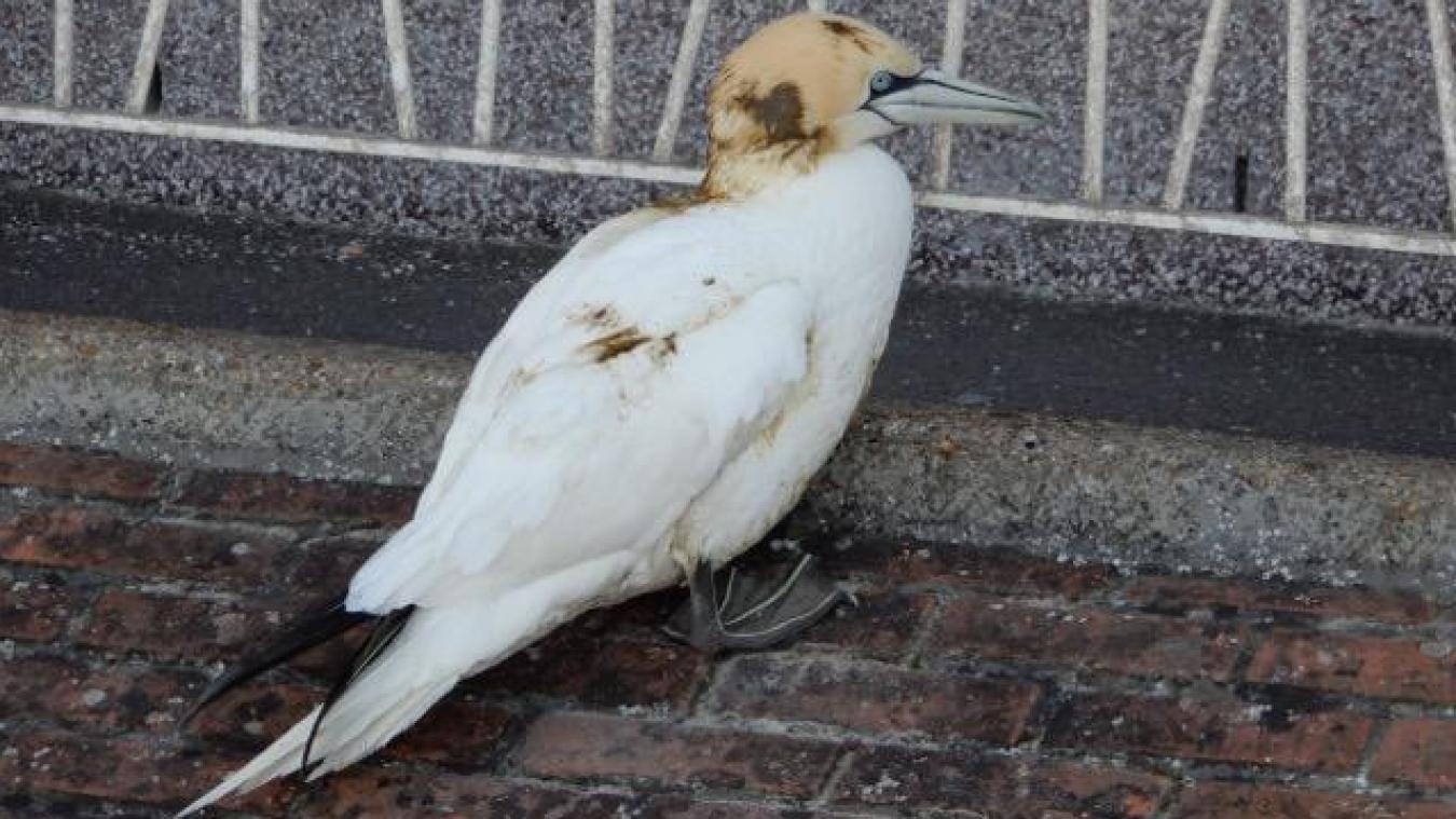 À Dunkerque, un Fou de Bassan a été trouvé. Il a été confié aux professionnels du centre de soins du Réseau SOS faune sauvage de Calais.